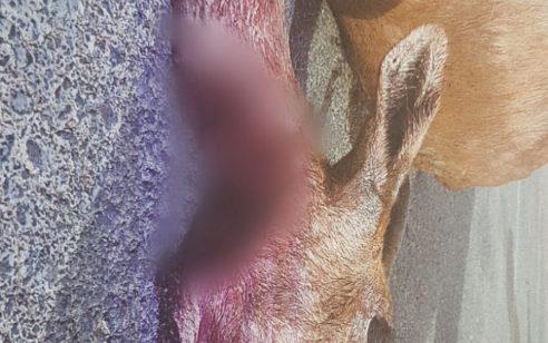 שבעה ערבים נעצרו בגין ציד צבי באזור מכמש