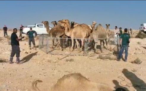 סכנה על הכביש: נתפסו 30 גמלים שהסתובבו סמוך לכבישים, 9 מהם הועברו לתחנת הסגר
