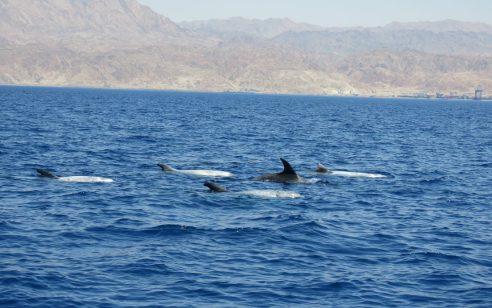מפרץ אילת לא מפסיק להפתיע: כ- 40 דולפינים מהמין גרמפוס אפור נצפו במרחק של כ- 800 מטרים מהחוף